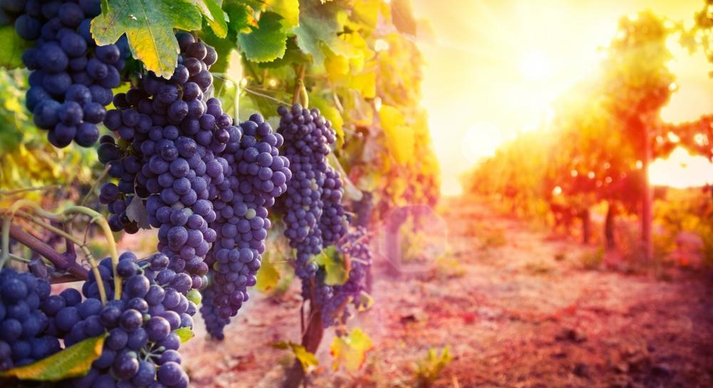 Néhány év múlva helyi bort szeretnének készíteni