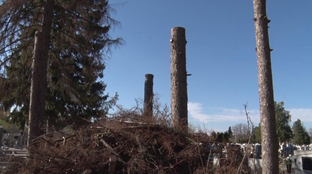 Az elszáradt és kivágott fák helyére új csemetéket ültetnek